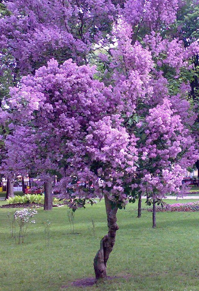 Purple Tree Purple Trees Flowering Trees Trees To Plant