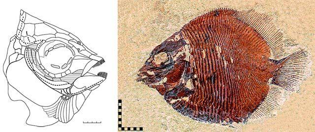 head reconstruction and fossil of Discoserra - Bear Gulch