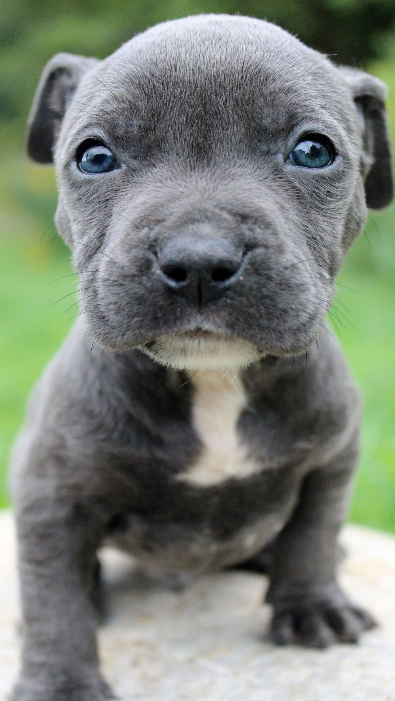 Pin On Blue Nose Pitbull Puppy For Sale