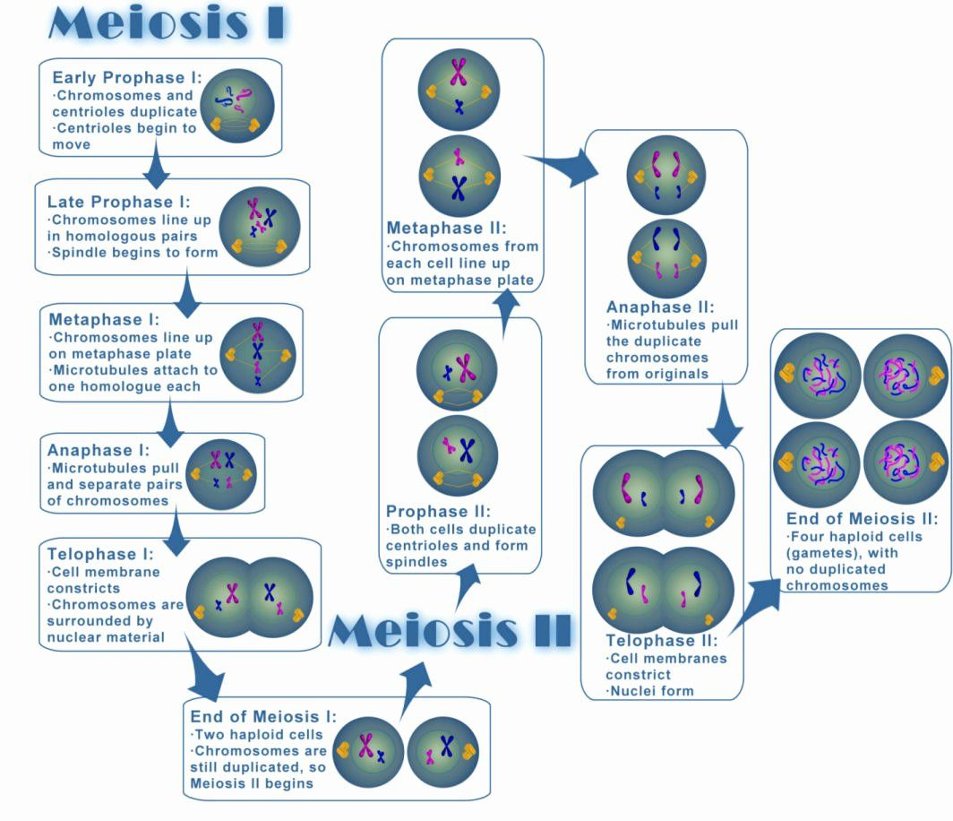Cells Alive Worksheet Answer Key New File Meiosis Wikimedia Mons Meiosis Meiosis Activity Biology