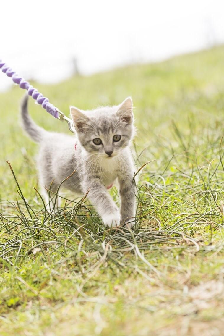 Our Kittens Are Taking To Harnesses Super Well This Is Willow Walking In The Grass Near The Ocean Animals Kittens Cats