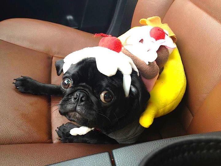 sundae pug want this for gracies halloween costume this year - Pugs Halloween