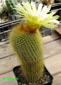 Photo of Cactus or Cacti… Cactaceae: Parodia leningh