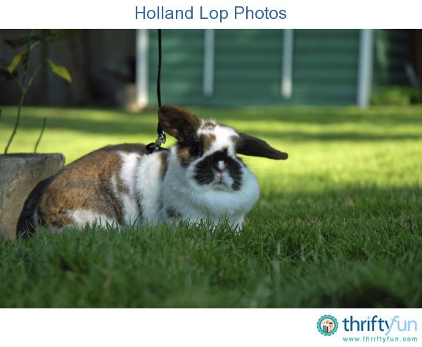 This page contains Holland Lop photos. These cute bunnies with their floppy ears originated in the Netherlands.