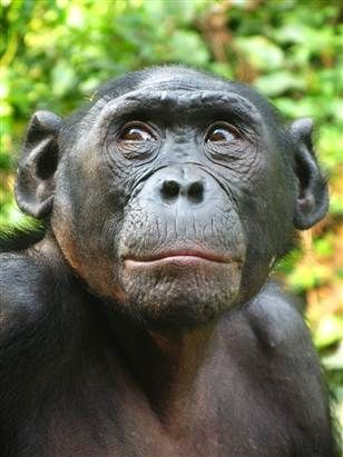 Pin By Erina On Portraits Iii Pygmy Chimpanzee Animals Wild