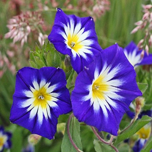 Morning Glory Royal Blue Flower Seeds Convolvulus Tricolor 50 Seeds In 2020 Flower Seeds Blue Flowers Garden Morning Glory Flowers