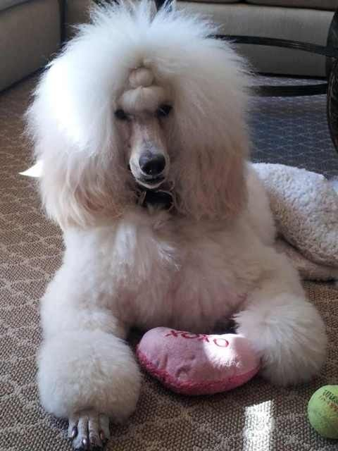 Anyone Else Do A Ponytail Poodle Forum Standard Poodle Toy