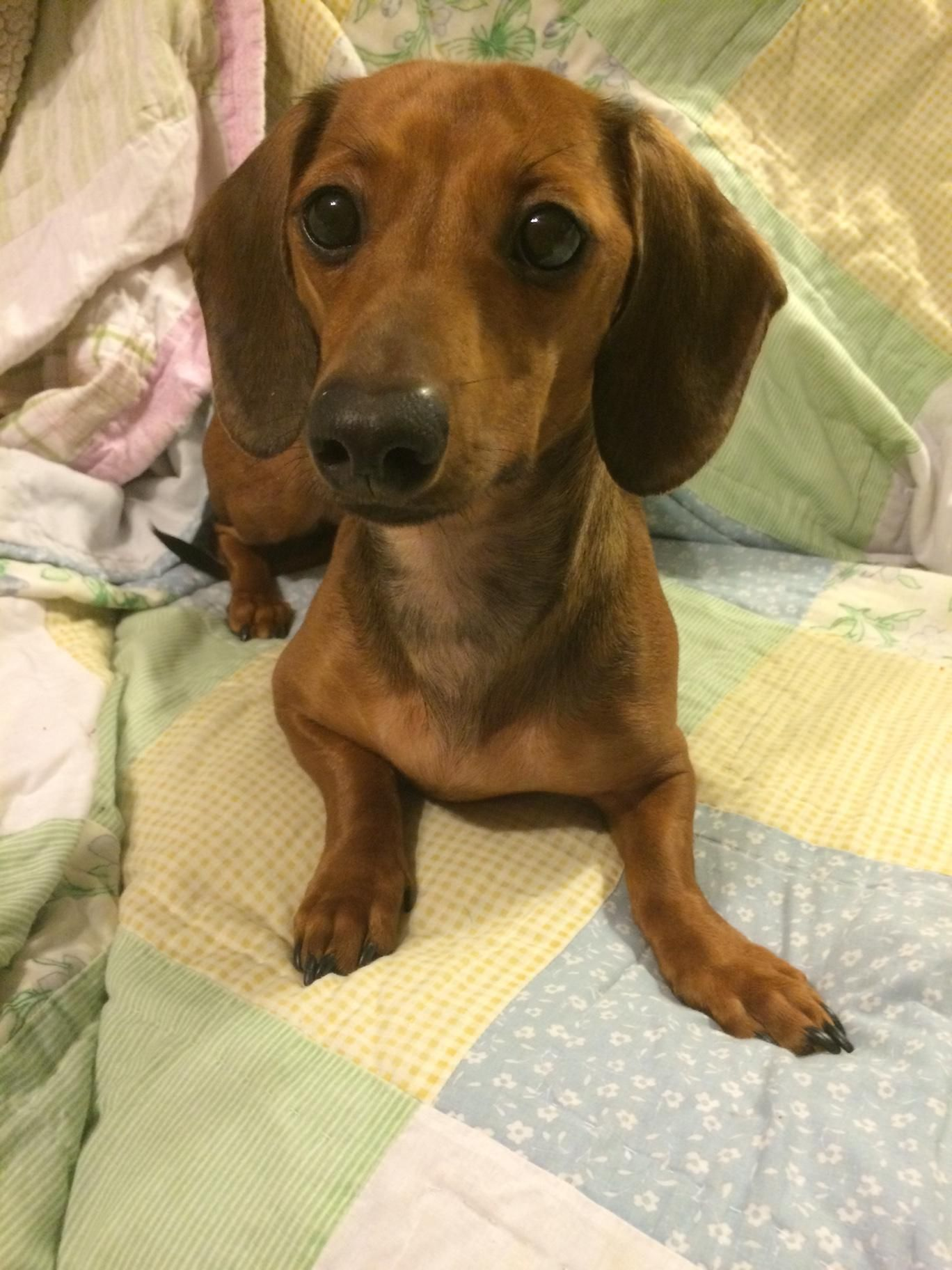 Adopt Zoey On Animal Rescue Dachshund Dog Dogs Puppies
