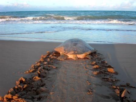 Turtle Nesting 80 Mile Beach Western Australia