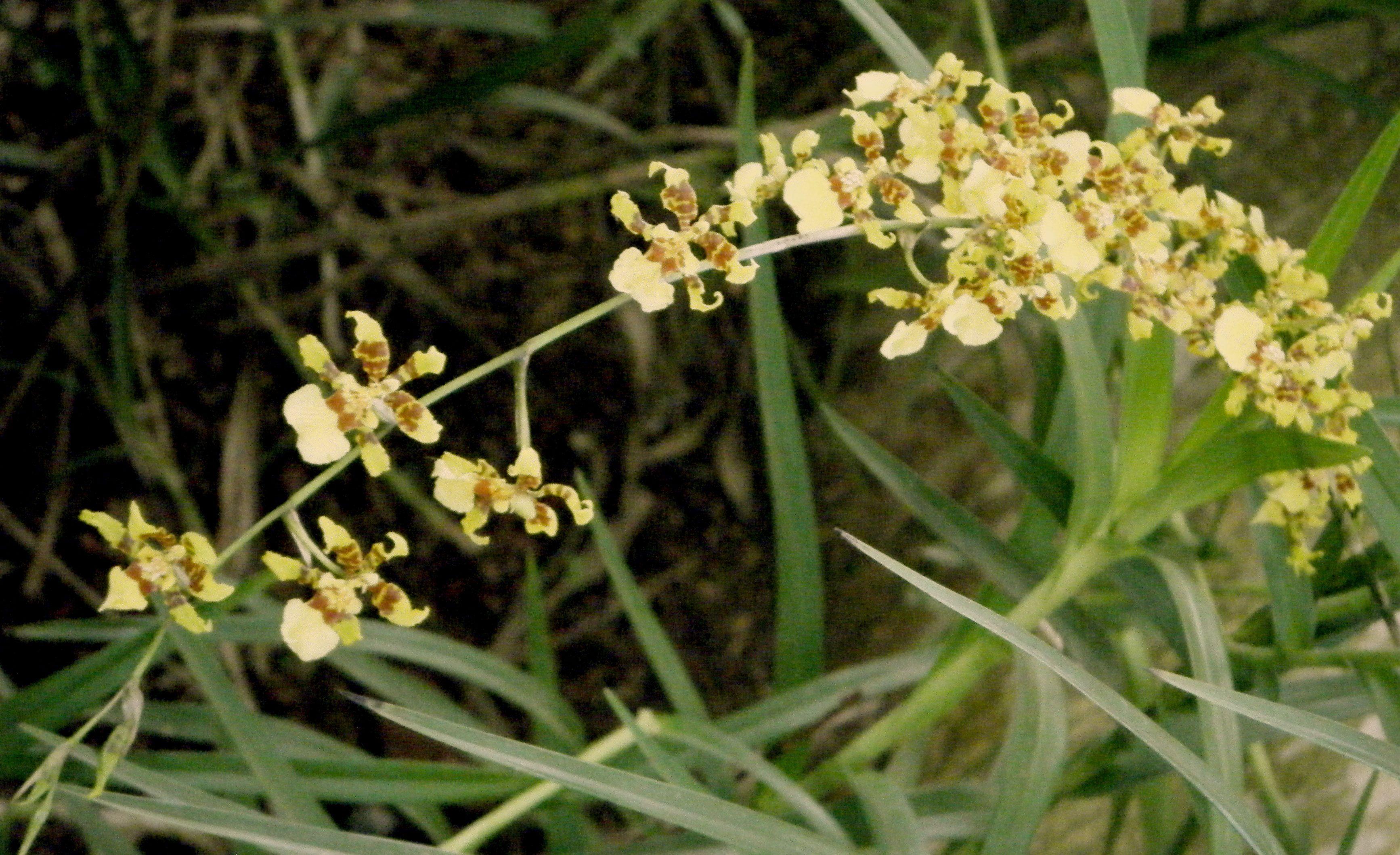 La orquidea Oncidium florece una vez al año nada más, los brotes ...