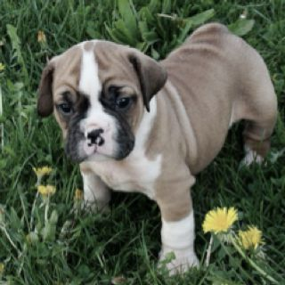 Beabull puppy.. Beagle mixed with bulldog Cute little