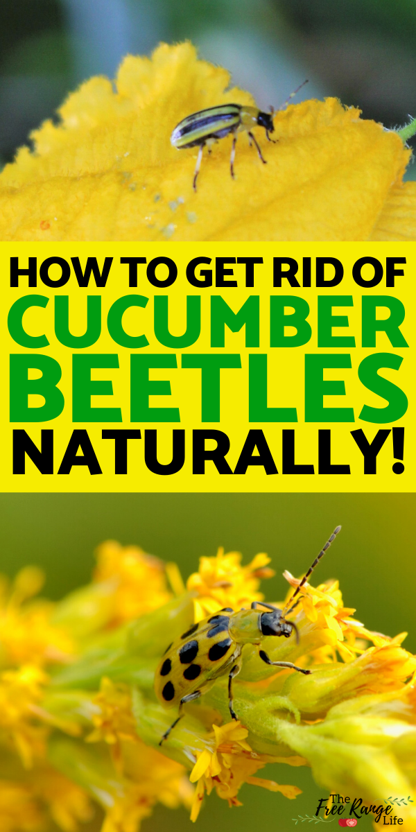 How to Control Cucumber Beetles Organically | Cucumber ...