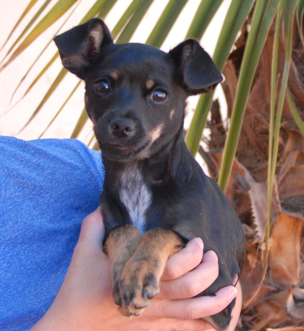 Nevada SPCA on (With images) Dog adoption, Chihuahua mix
