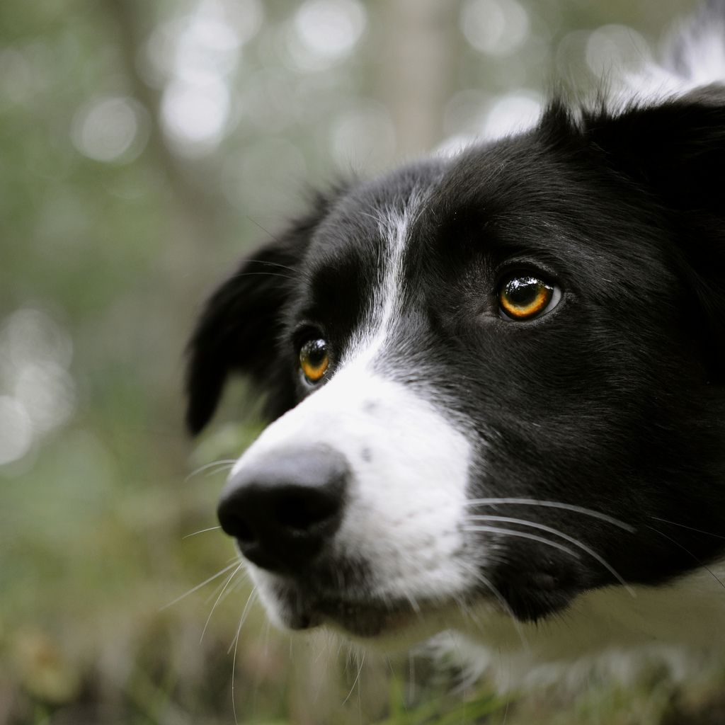 look at those eyes - my border collie is smarter than your honor student:)