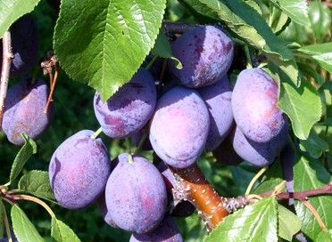 Stanley Prune Plum When You Think Prune Plums Think Stanley It S 1 With Prune Growers And Best Known Among Prune Plum Lovers Prune Plum Purple Fruit Prune