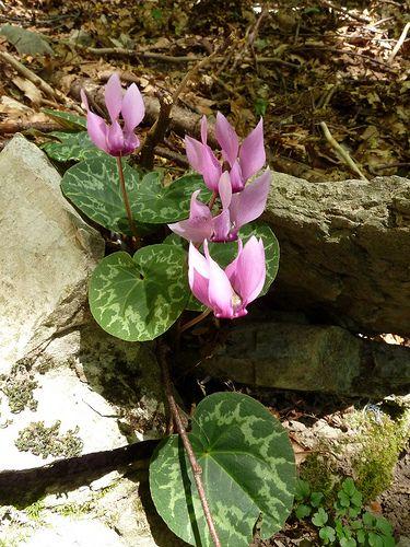 Gemeines Alpenveilchen Cyclamen Pourpre Cyclamen Purpurascens Shade Plants Plants Flowers