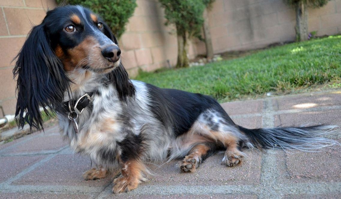 What A Pretty Doxie Doxie Dogs Dachshund