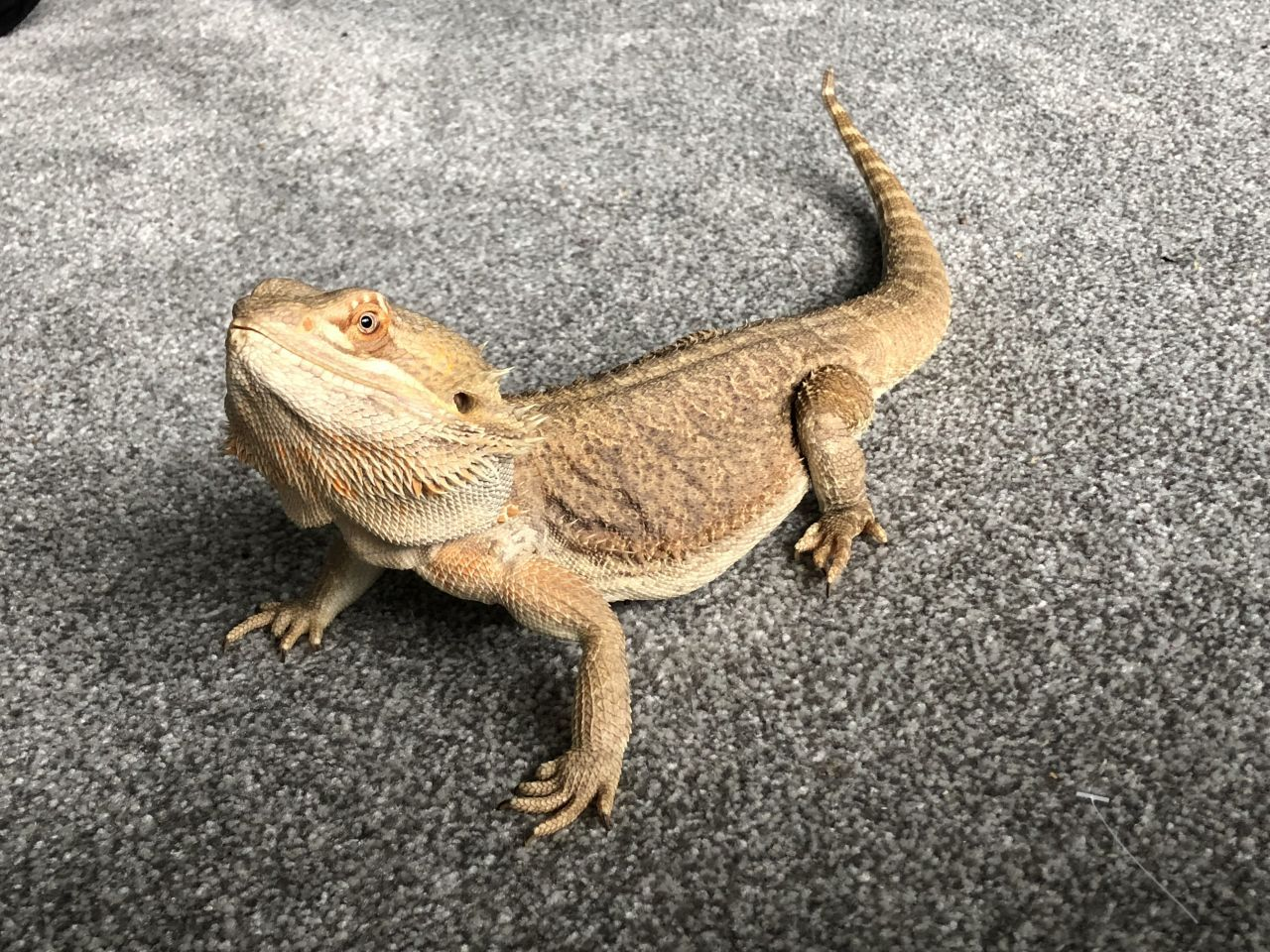 Image result for bearded dragon | fantastic beasts reference ...