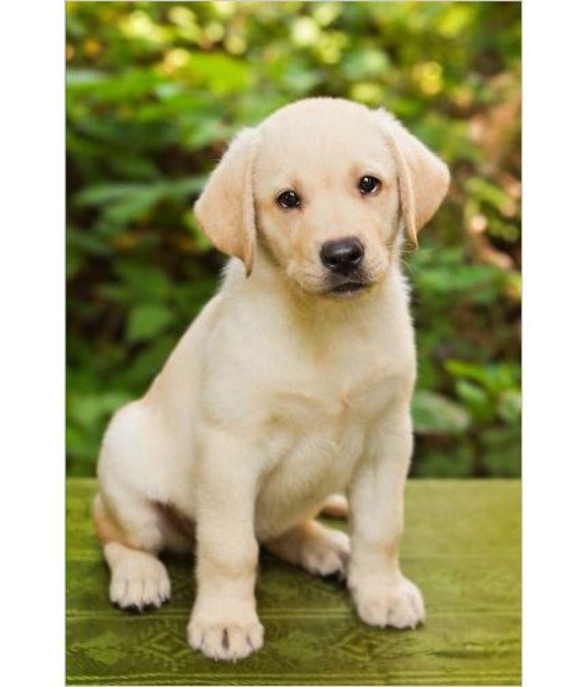 Labrador Retriever Puppies For Sale Near Me In 2020 Labrador Retriever Labrador Retriever Puppies Golden Retriever Vs Labrador