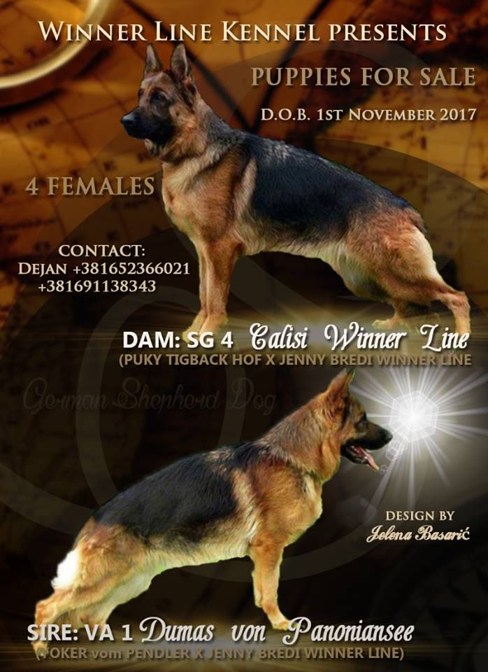 Design By Jelena Basaric An Advertising Poster For The Gsd Puppies Owned By The Winner Line Kennel Kraljevo Serbia Gsd Puppies German Shepherd Puppies