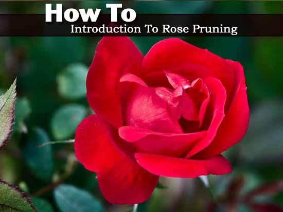 How To Prune Knockout Roses 5 Video Tips Knockout Roses Rose Rose Plant Care