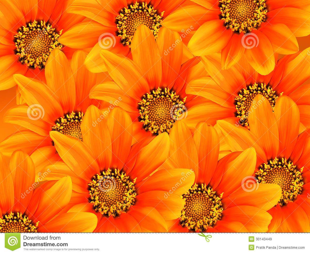 Gerbera Orange Flowers Background Flower Backgrounds Orange Flowers Flower Images