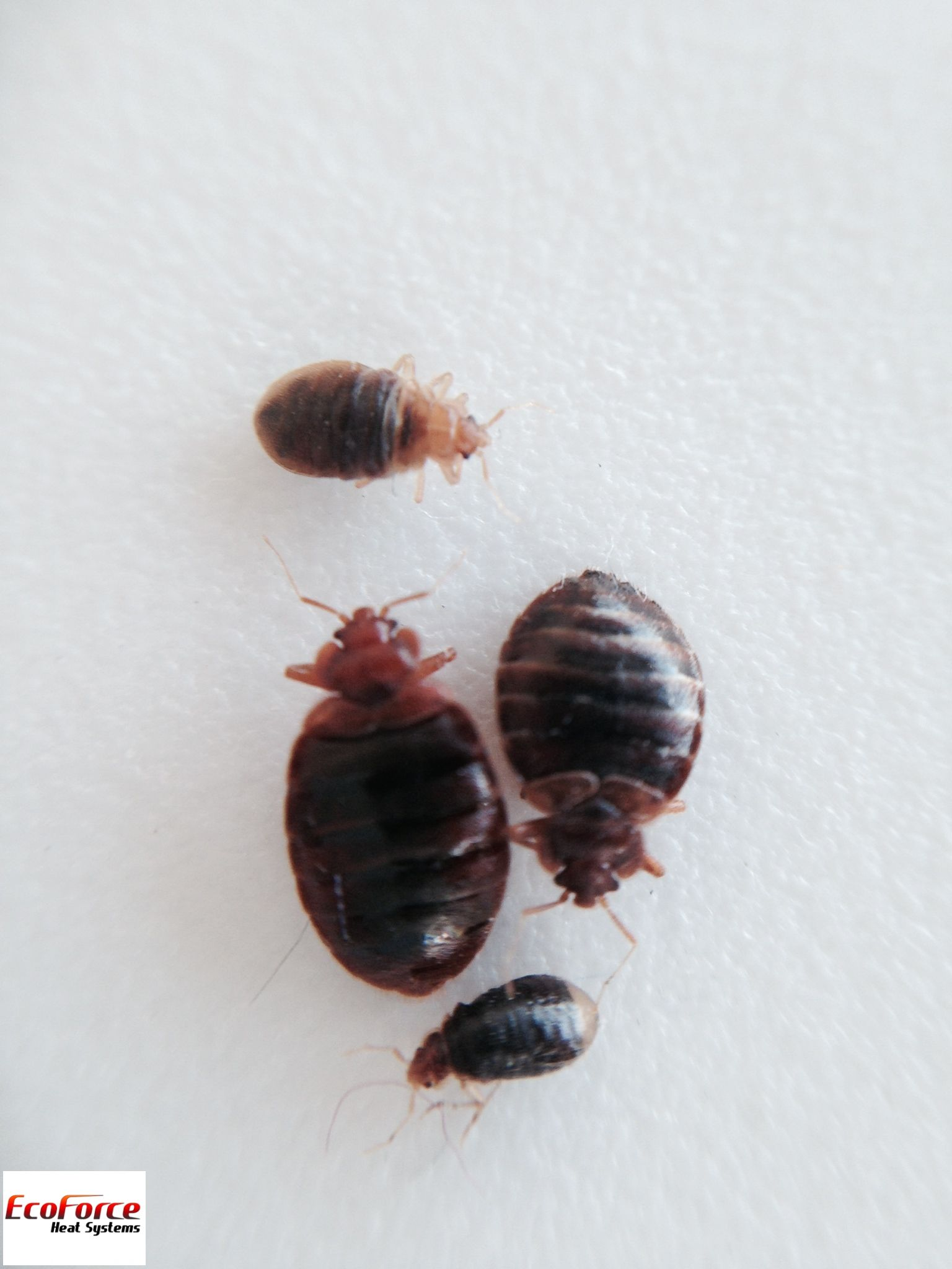 Bedbugs up close Bed bugs, Bed, Bugs