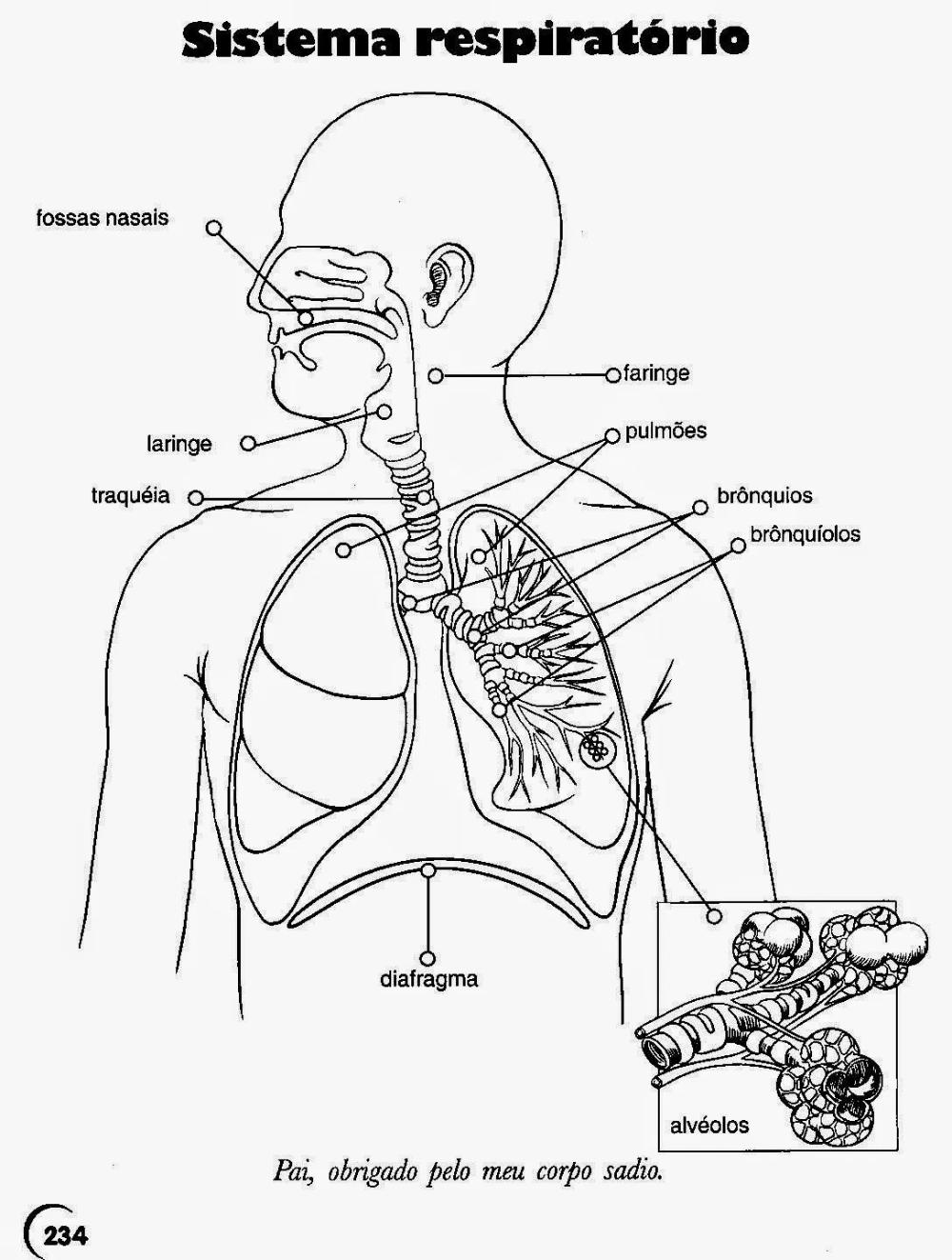 44 Atividades sobre Sistema Respiratório para Imprimir - Online Cursos  Gratuitos em 2020 | Sistema respiratório, Atividades de ciência, Ciencias
