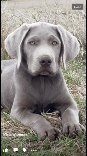 Silver Lab Retriever Named Hoss Labradorretriever Lab Puppies