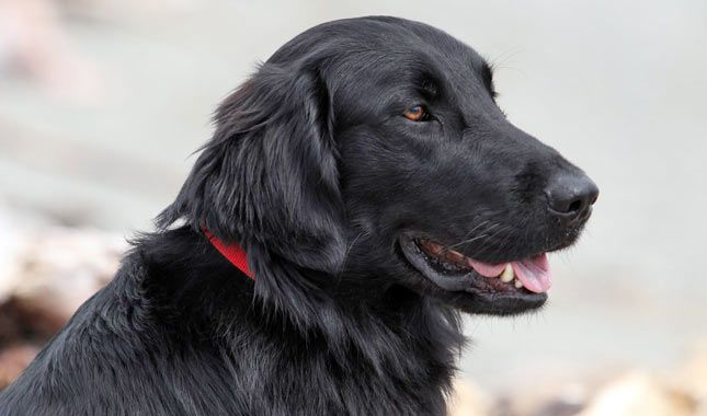 Everything You Want To Know About Flat Coated Retrievers Including