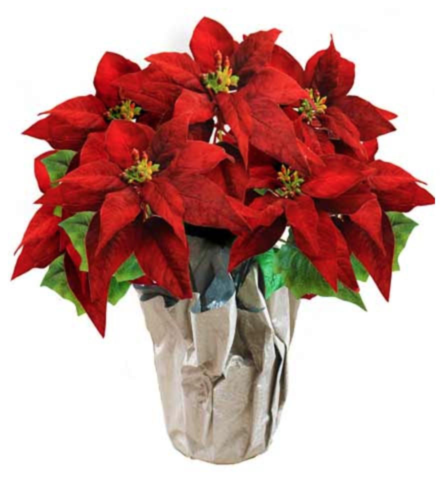 Red Poinsettia Plant Poinsettia Plant Plants Poinsettia