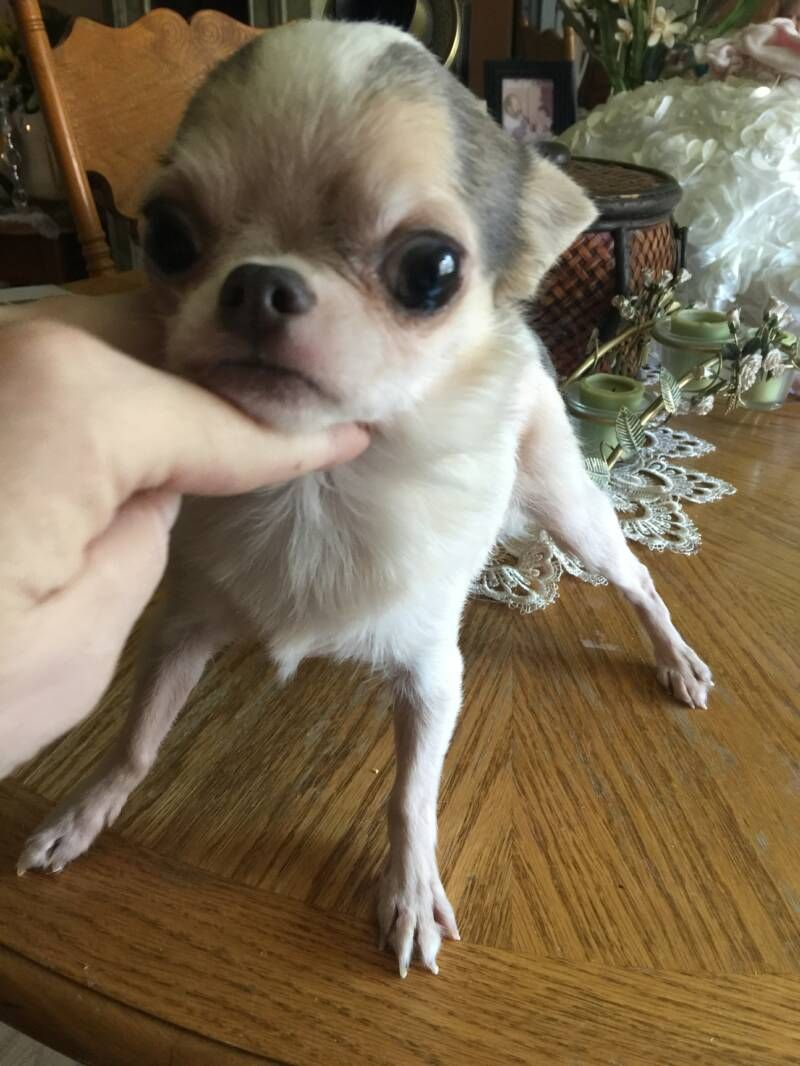 Teacup Chihuahua Puppies For Sale We Specialize In Teacup Chihuahuas Here At Chihuahua Teacups Com Teacup Chihuahua Puppies Chihuahua Puppies Baby Chihuahua