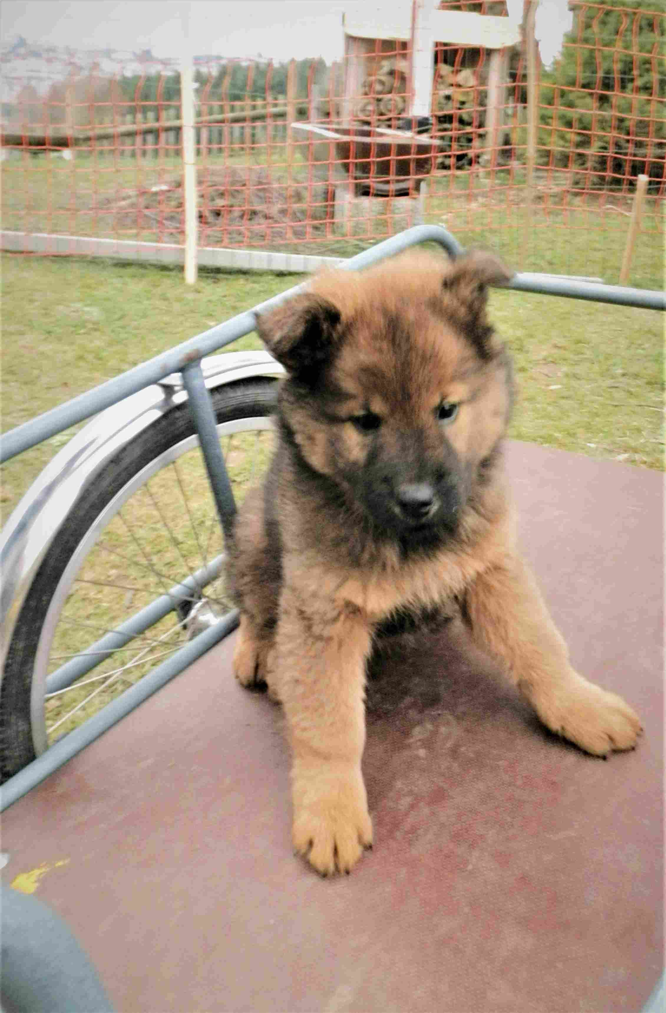 Eurasier Hund Eurasier Hund Eurasier Hunde