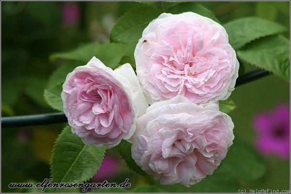 'Chloris' alba rose