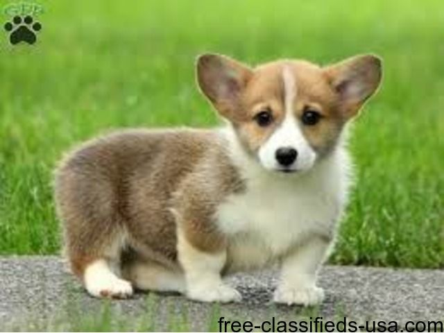 Animals They Are A K C Registered House Trained And Potty Trained They Have Been Vet Checked And Vaccinated Till Dat Corgi Puppies For Sale Corgi Corgi Dog