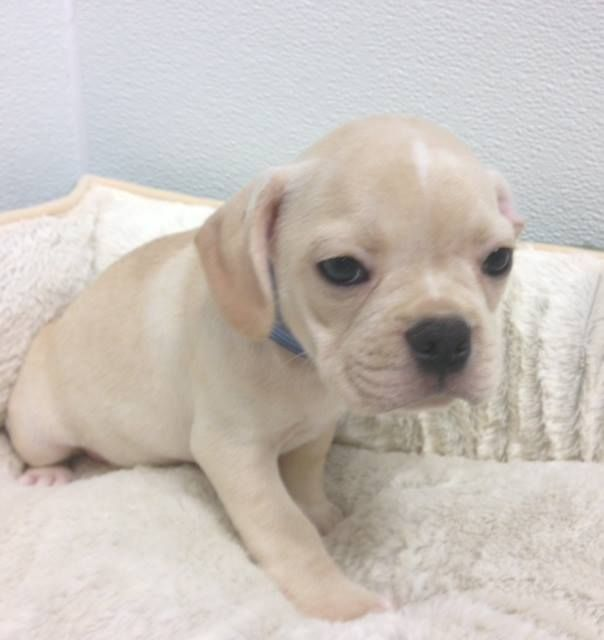 Puggle From Puggle Baby Breeder In Mi 800 Puggle Puppies For