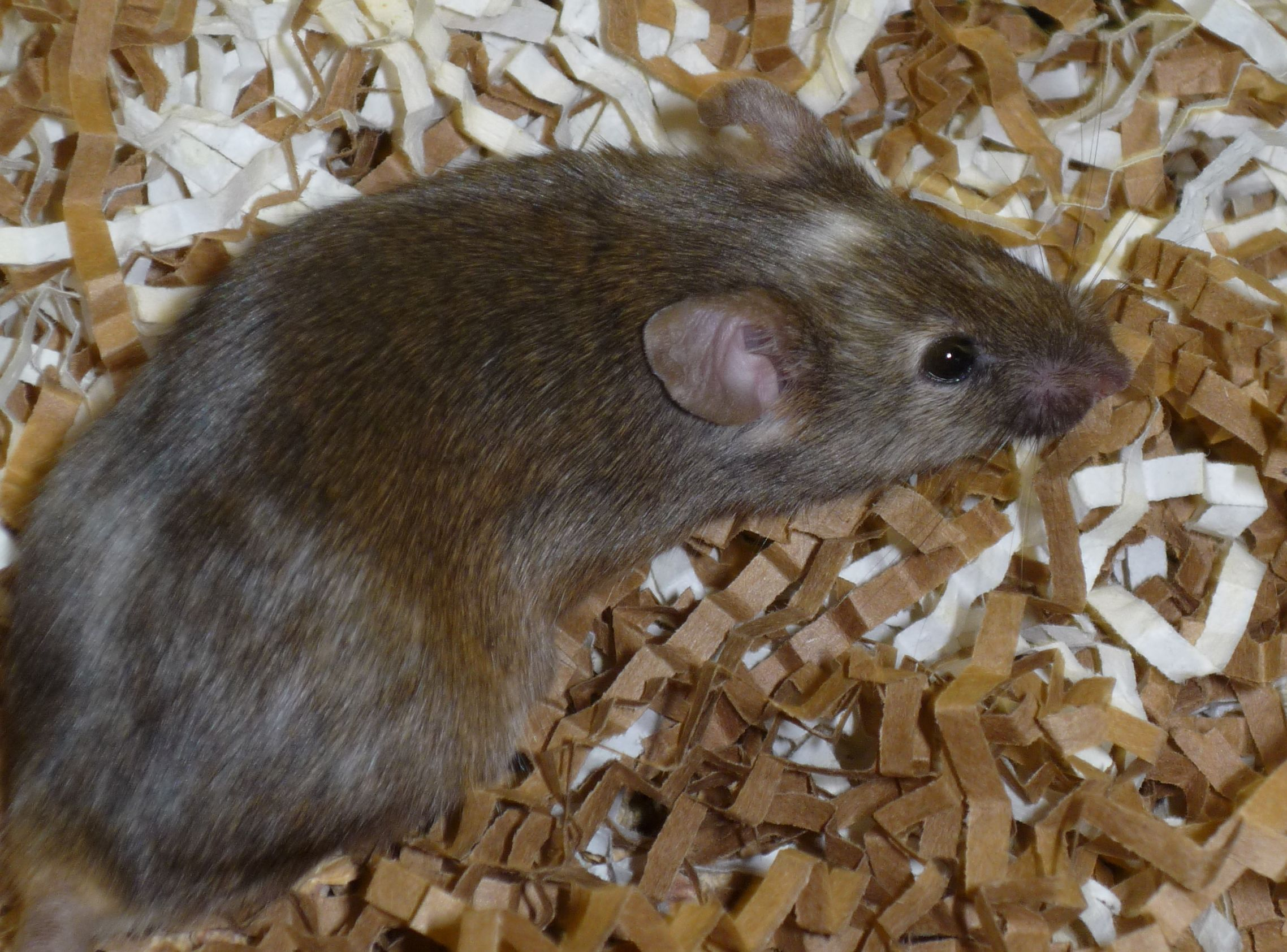 nSR100 mutant mouse Reducing nSR100 protein levels by half was