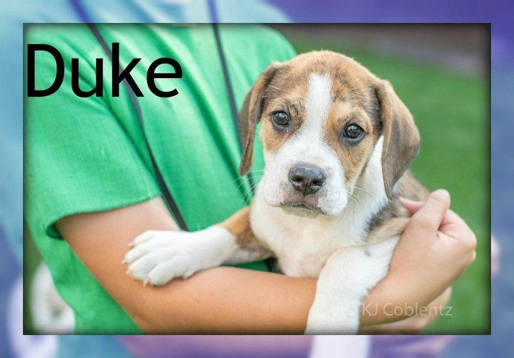 Duke Male Beabull Puppy (Full Price 350.00) Deposit Dog