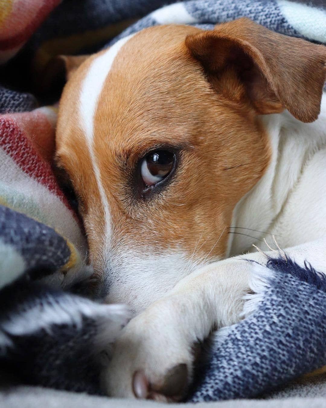 Pin By Anita On Dieser Blick Umwerfend Jack Russell Jack Russell Terrier Jack Russell Terrier Puppies