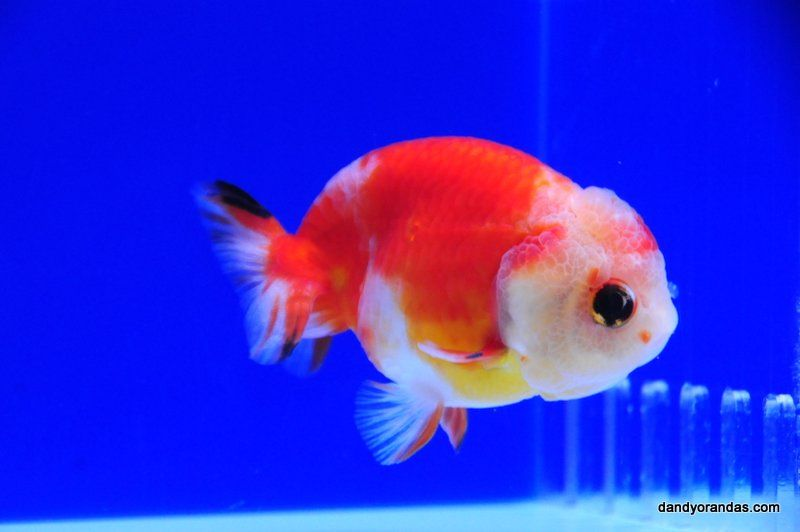 Calico Ranchu Dandyorandas Com Goldfish Aquarium Cool Fish Goldfish