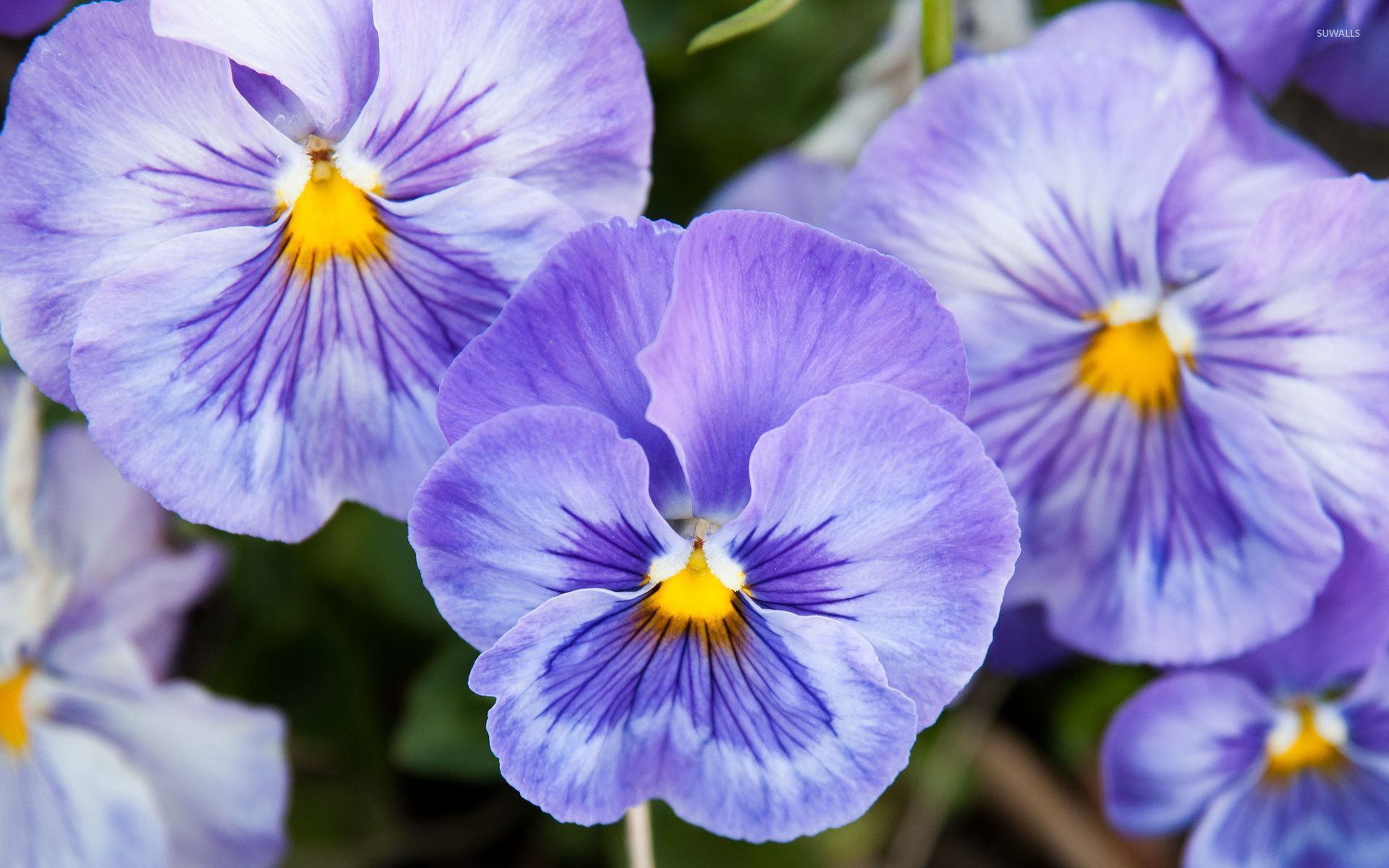 Purple Pansies Wallpaper Flower Wallpapers 34328 Pansies Flowers Pansies Purple Pansy