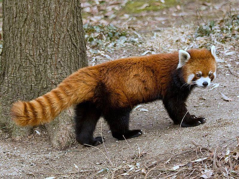 Red Pandas Are Our New Favourite Animal Red panda, Panda