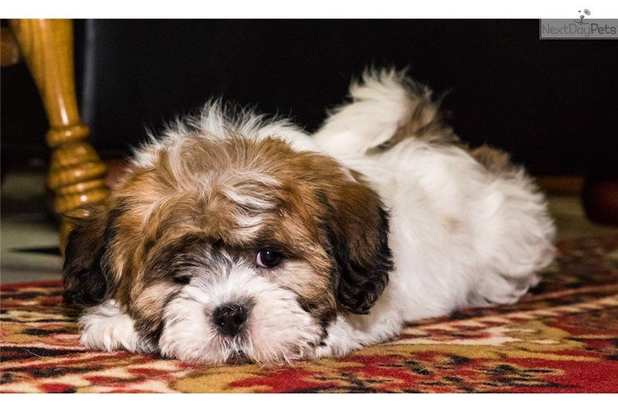 teacup puppies for free in ohio