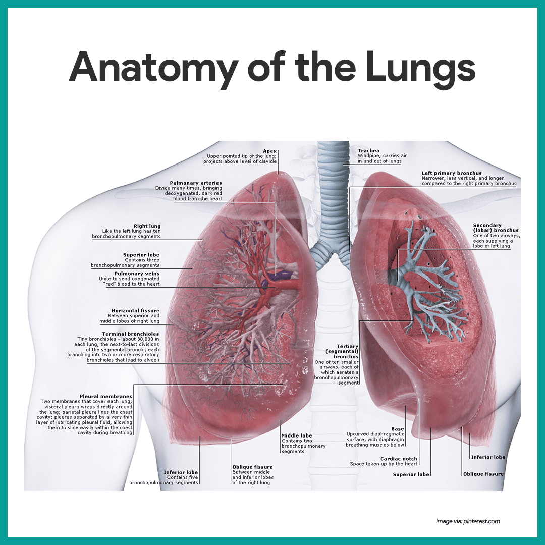Respiratory System Anatomy And Physiology Med Studies Pinterest