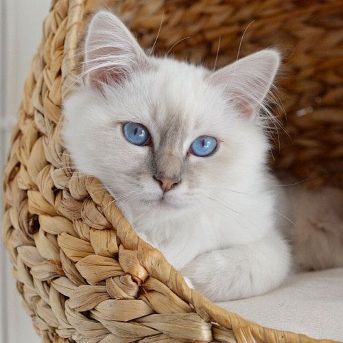 Pin By Rebecca On Ragdoll Cats Adventure Cat Crazy Cats Cats And Kittens