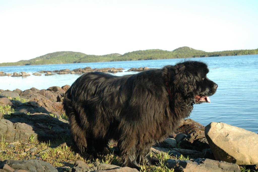 Newfoundland Hunting Dog