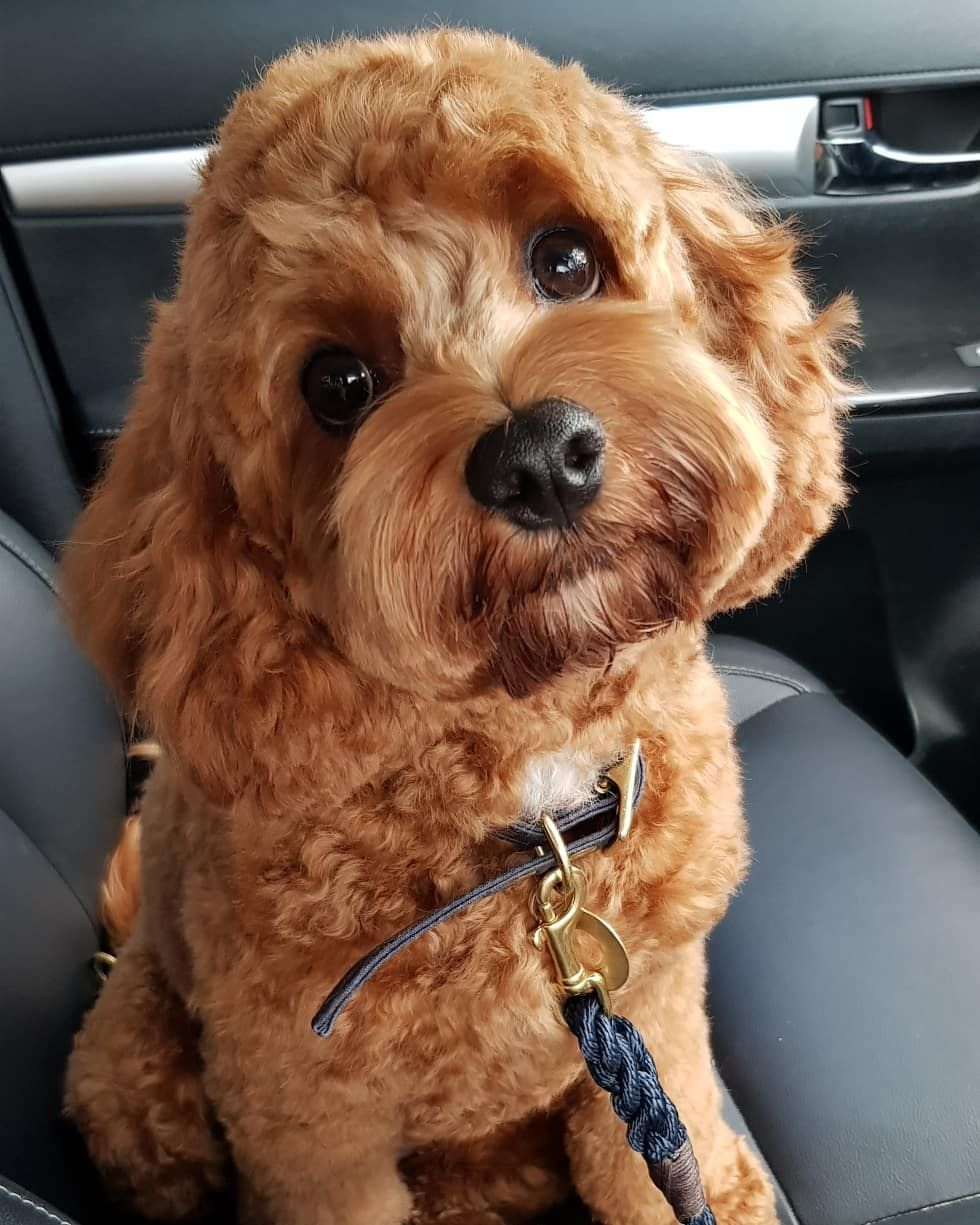 """Charlie the Cavoodle 🐾 on Instagram """"Well my 1st Birthday"""