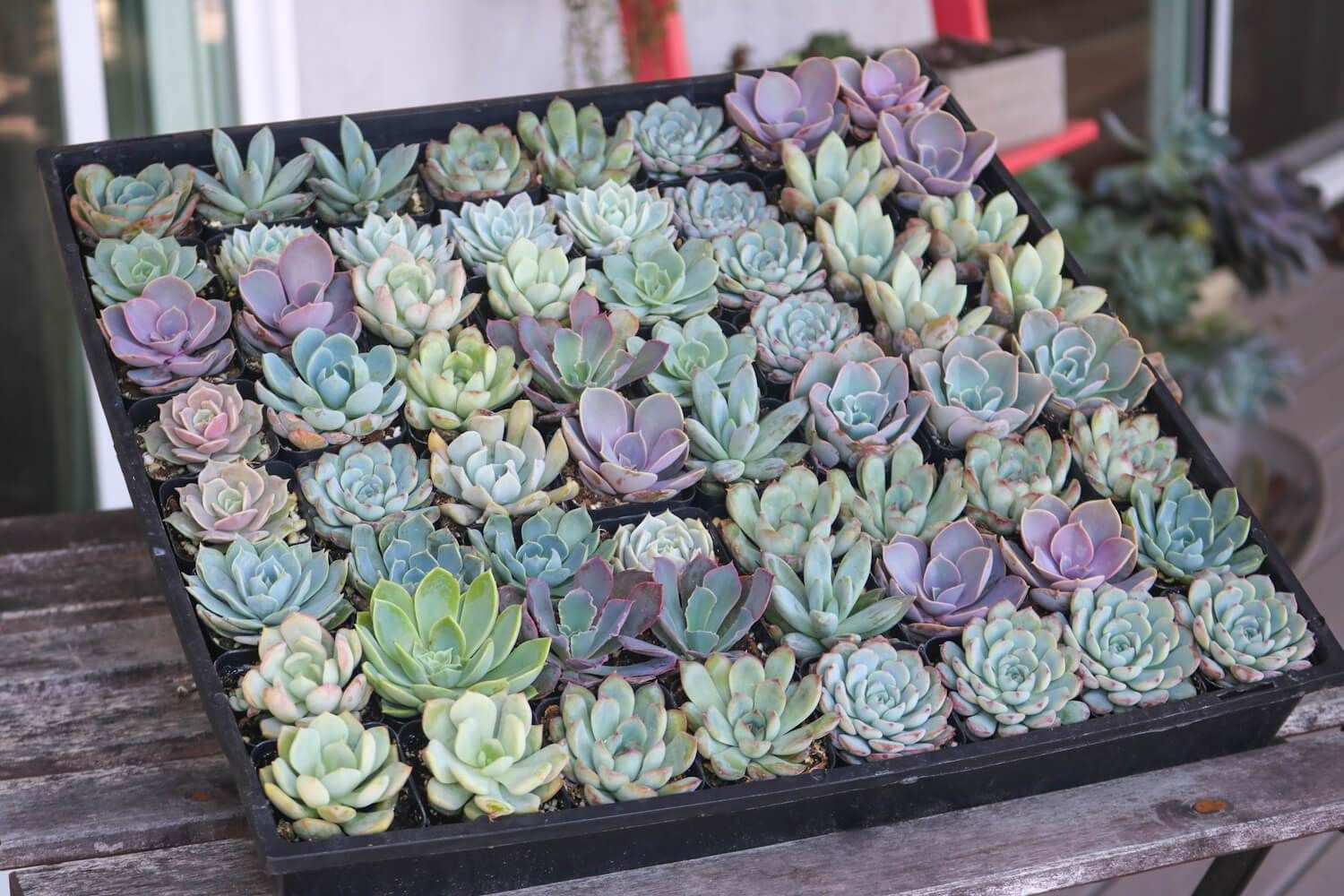 The Best Place to Buy Beautiful Succulents Online
