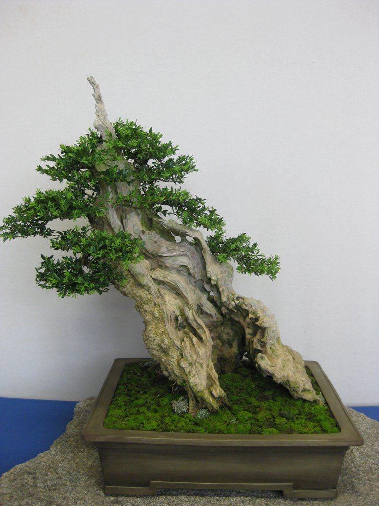 Bonsai buis (buxus)