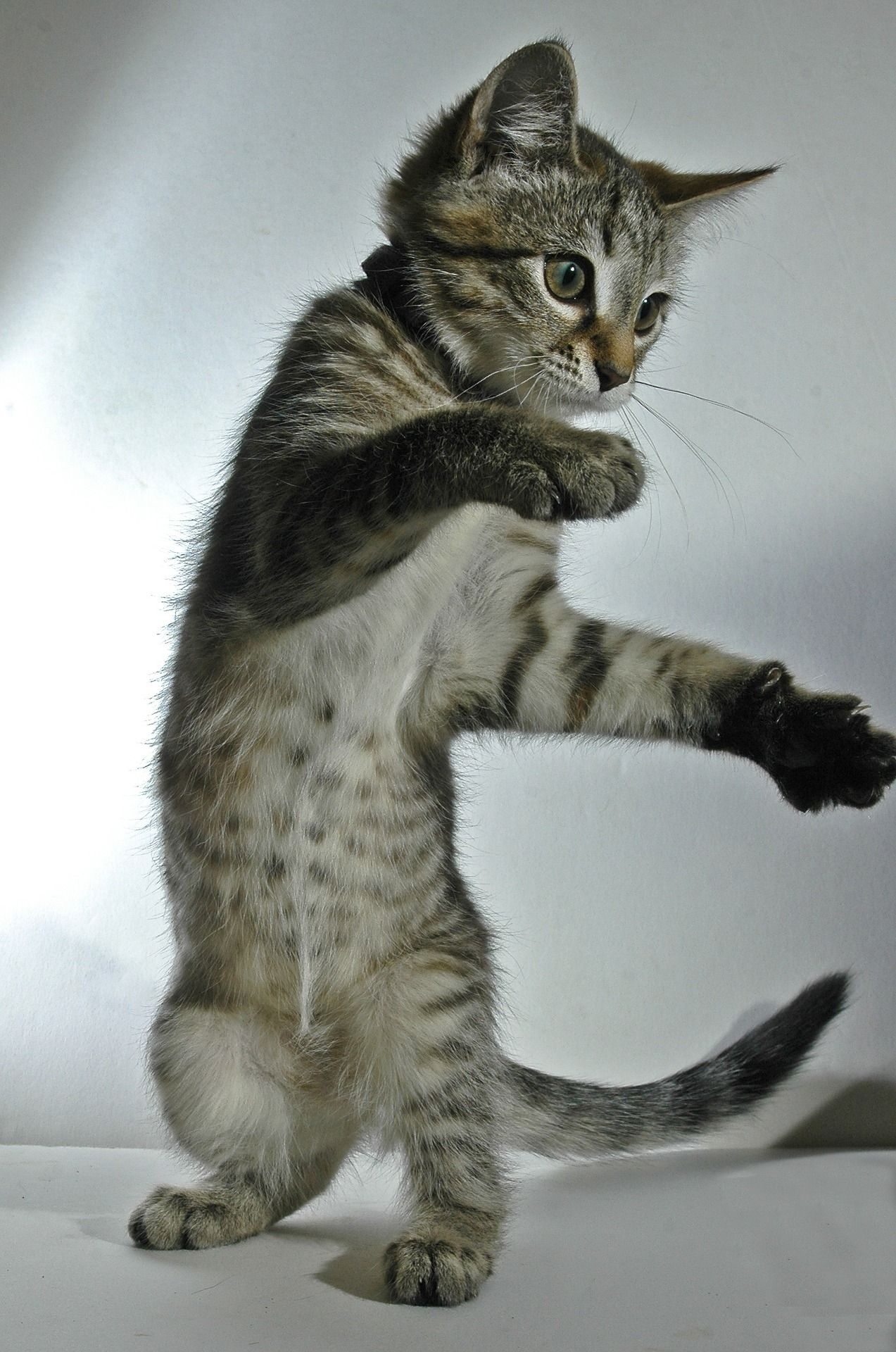 Kitten S Ballroom Dancing Prowess Stuns Judges At Dancing Cat Cats And Kittens Cats